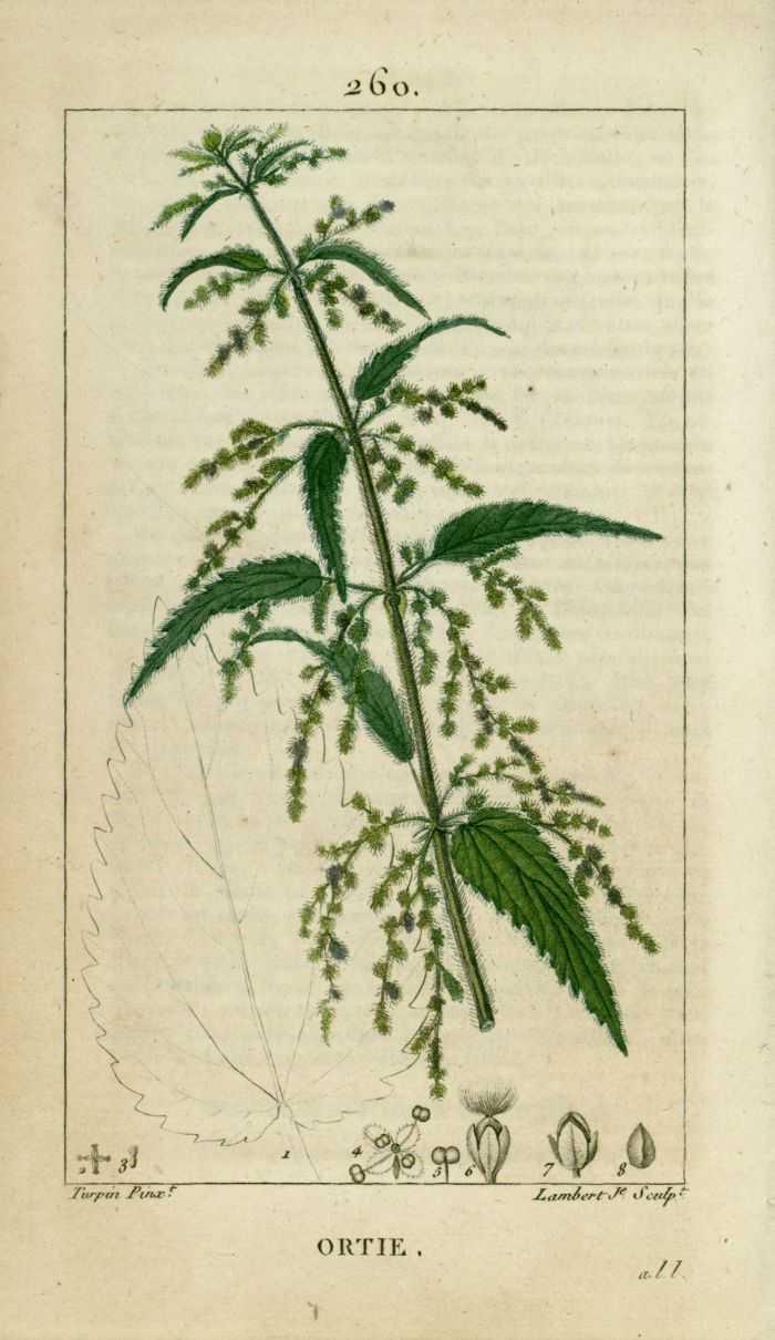 Les plantes sibyllin inextinguible for Plante ortie